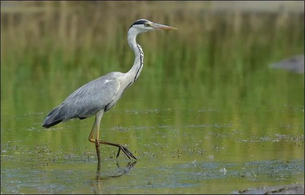 Серая цапля - животный мир болота