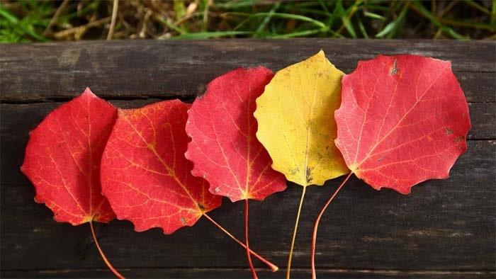 Листья осины осенью